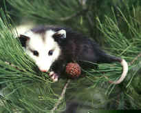 Virginia opossum approx. 5 months old