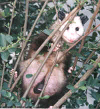 Mother opossum with infants in her pouch