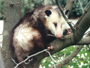 Reproduction – Life Cycle | Opossum Society of the United States