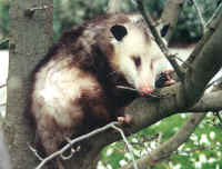 Didelphis virginiana, or Virginia Opossum.
