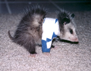 Orphaned Or Injured Opossum Opossum Society Of The United States