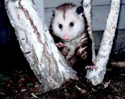 opossum1.jpg (150359 bytes)