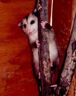 opossum2.jpg (173910 bytes)