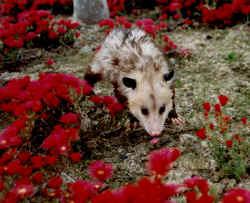 opossum4.jpg (175877 bytes)