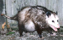 This opossum is not pregnant. She is carrying 9 infants in her pouch.