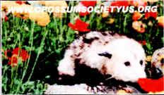 Possum Magnet