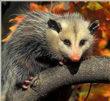 Opossum Society US