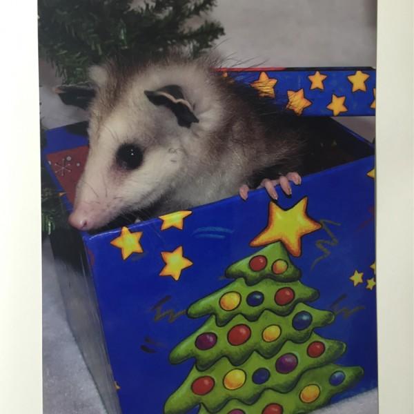 Opossum-in-Christmas-Box