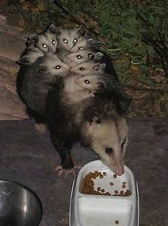 Momma Possum With Babies on her Back