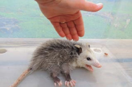 Protecting Opossums from Pools